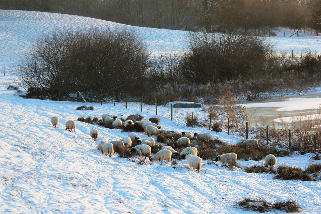 The sheep in the snowy fields at Sandhole Oak Barn rural wedding venue