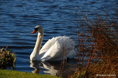 At Sandhole Oak Barn you may see beautiful swans on the lake, the perfect addition to any waterside barn wedding