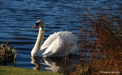 Beautiful swans swim on the lake at this stunning waterside venue near Manchester